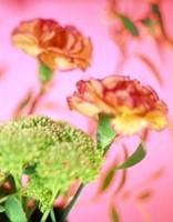 цветы значение гвоздика