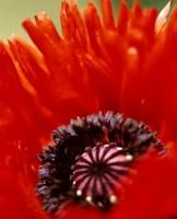 цветы значение мак